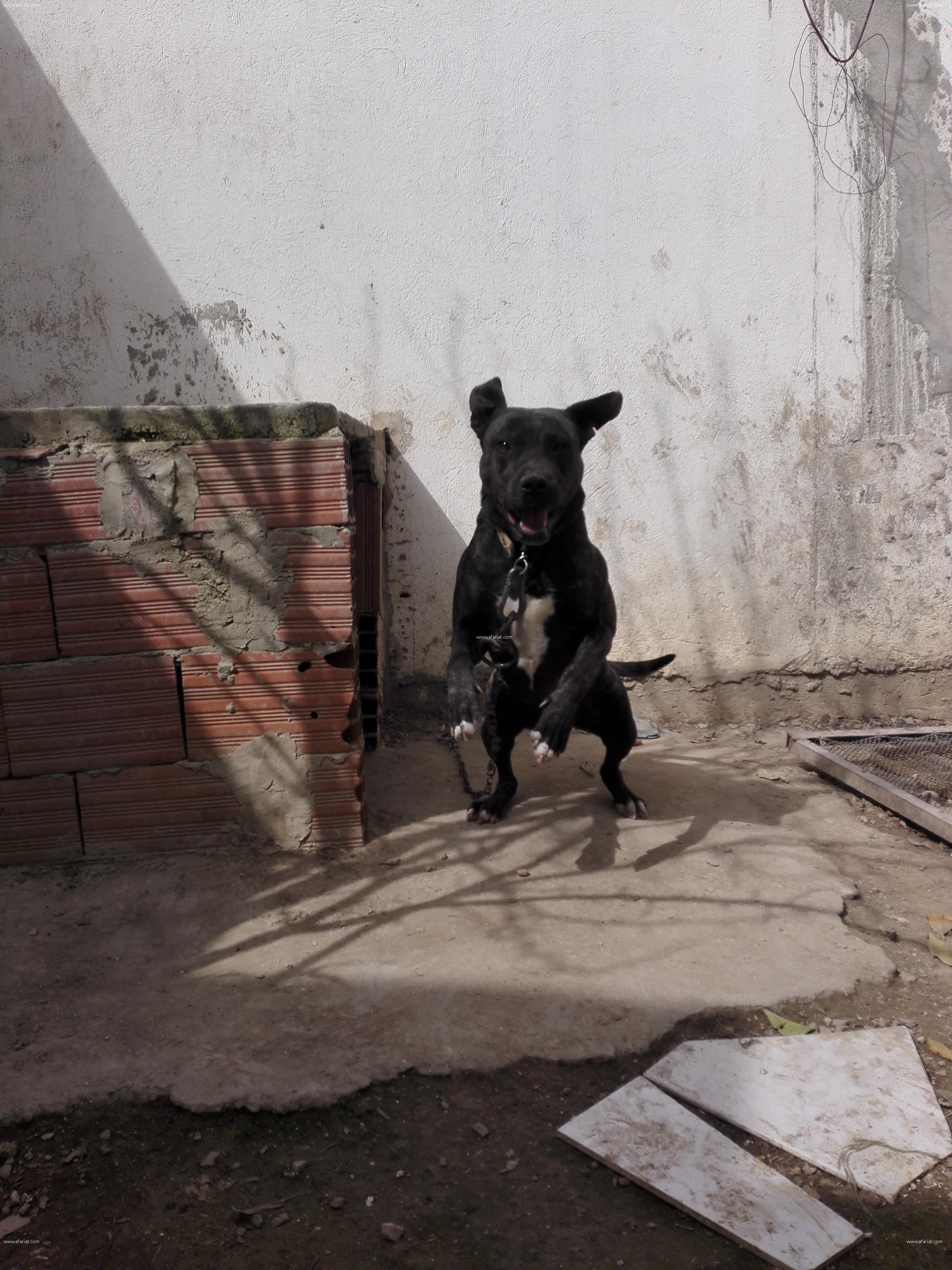 chien staf américain