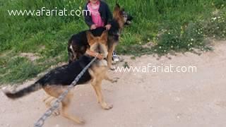 2 bergers(chien et chienne) leurs age 5 mois